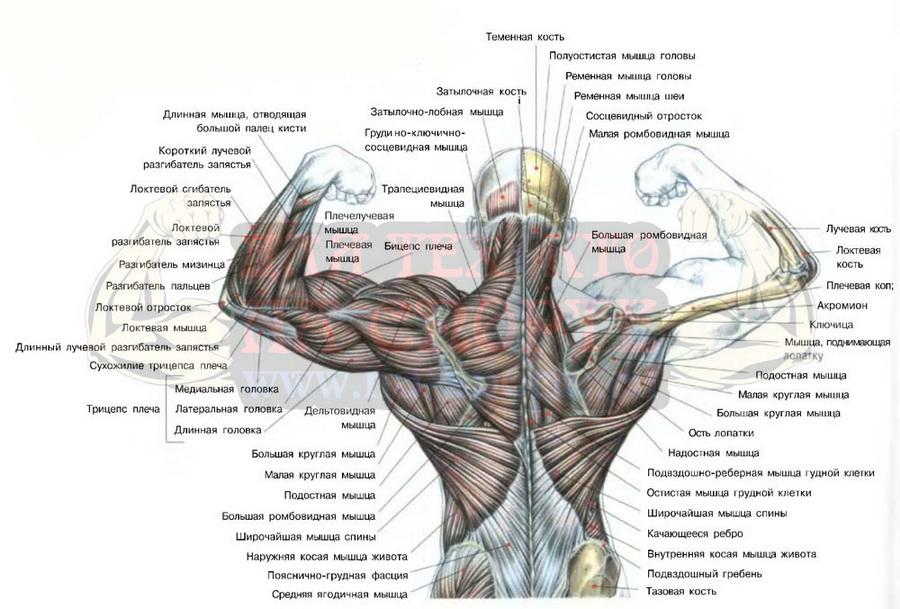 Основные мышцы спины человека.
